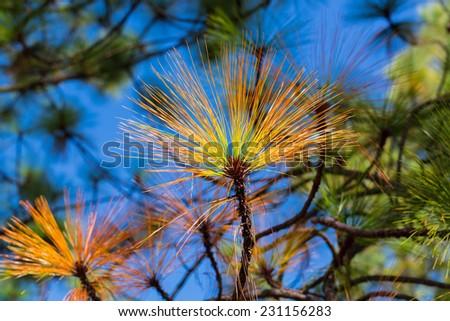 Pine Fir Background against a clear blue sky. - stock photo
