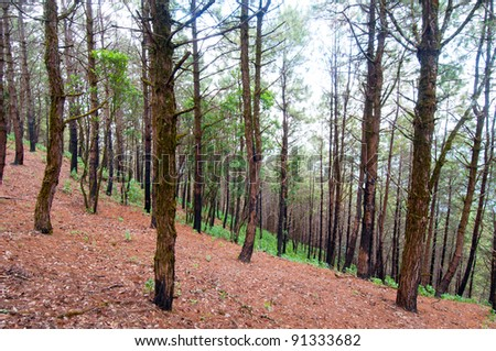 Pine forest after fire burning,Thailand - stock photo