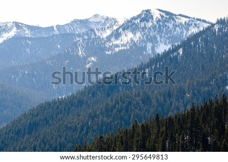 Pine Forest at Olympic National Park  - stock photo