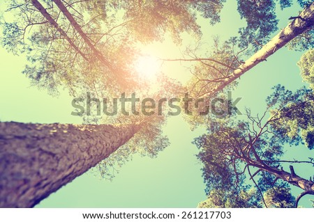Pine forest at sunny day. Beautiful summer landscape. Vintage effect - stock photo