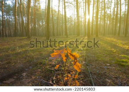pine forest at the early morning - stock photo
