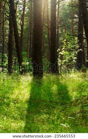 Pine forest growing on dunes near Baltic sea shore. Pomerania, northern Poland.  - stock photo
