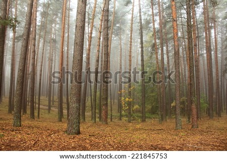 pine forest in morning fog in autumn - stock photo