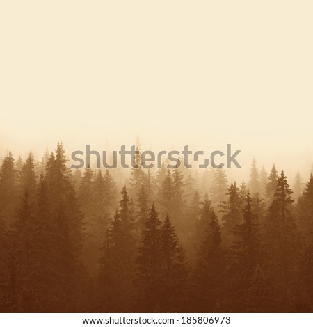 pine forest in mountains with fog  - stock photo