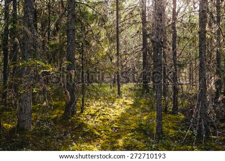 Pine forest, marsh park  - stock photo