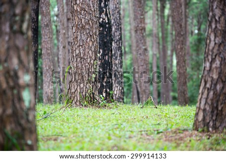 pine forest, pinery, Pine Tree - stock photo