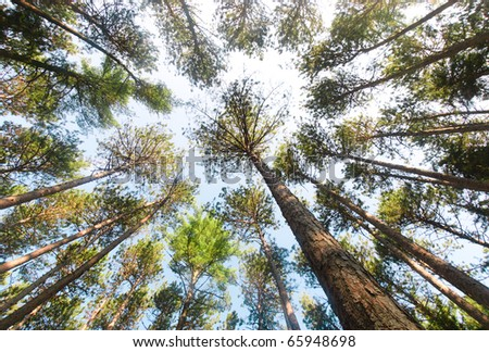 pine forest tree trunks and canopy - stock photo
