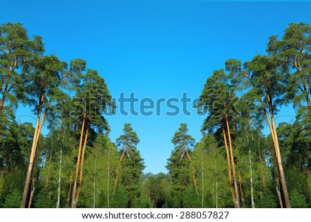pine forest under deep blue sky - stock photo