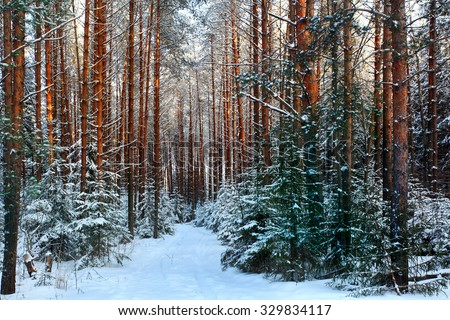 pine forest, winter - stock photo