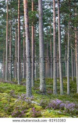 Pine forest with blooming heather - stock photo