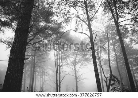 Pine forest with foggy - stock photo