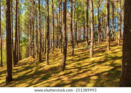 Pine forest with sunrise - stock photo