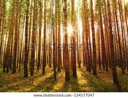 Pine forest with the last of the sun shining through the trees. - stock photo