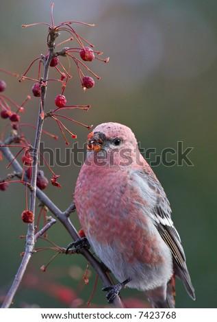 Pine grosbeak - stock photo
