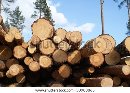 Pine Logs in Forest - stock photo