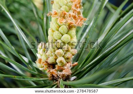 pine macro - stock photo
