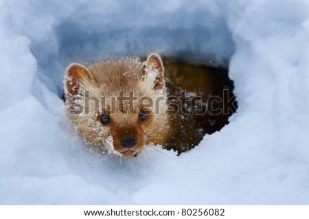 Pine marten in snow bank - stock photo