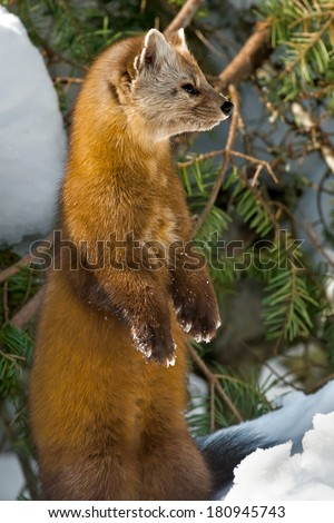Pine Marten standing on its hind legs looking to the right. - stock photo