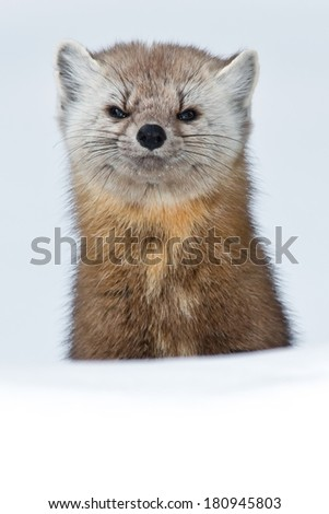 Pine Marten standing up from behind a small hill looking at the camera. - stock photo