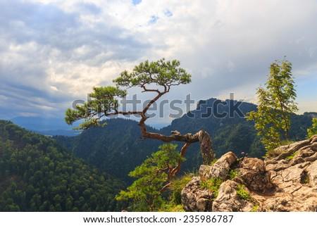 pine, most famous tree in Pieniny Mountains, Poland  - stock photo