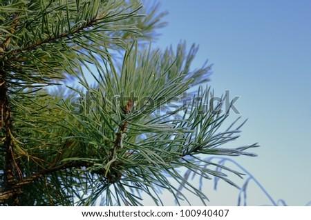 Pine needles - stock photo