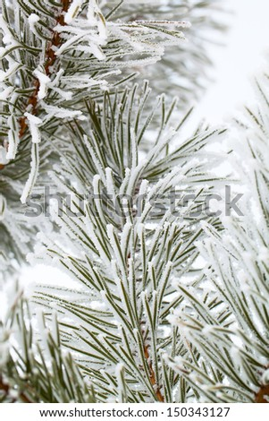 Pine needles covered with hoarfrost. - stock photo