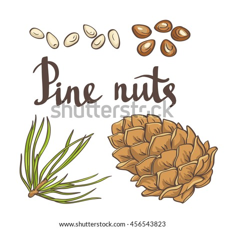 Pine nuts and pine cones. Hand drawn illustration. Isolated objects on the white background. It also has a vector copy in my portfolio. - stock photo