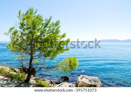 Pine on the promenade of Brela at Makarska Riviera,adriatic Sea,Dalmatia,Croatia - stock photo