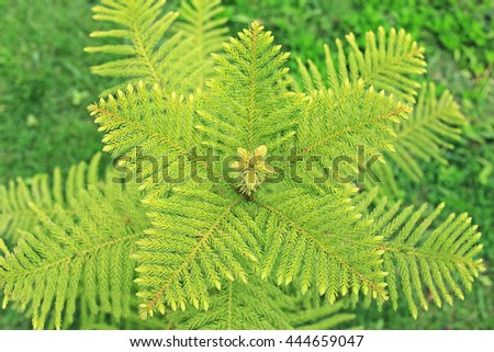Pine regeneration - stock photo