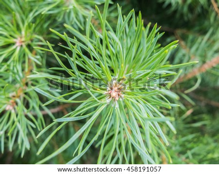 Pine resin on needles, fir branch with drops of tree resin. Details of the nature spruce forests. Pine resin on the needles. - stock photo