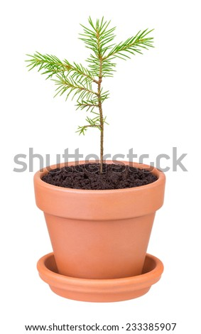 pine sprout growing in a flower pot on white background - stock photo