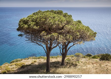 Pine tree at the west coast of Elba, Pomonte, Tuscany, Italy - stock photo