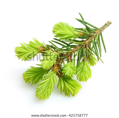 Pine tree branch isolated on white background - stock photo