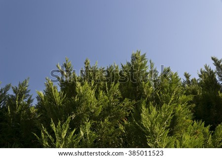 Pine tree branches over blue sky - stock photo