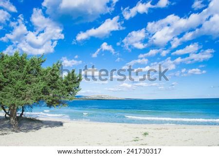pine tree by the sea in Stintino, Italy - stock photo