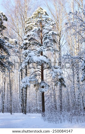 Pine tree covered with snow in winter park - stock photo