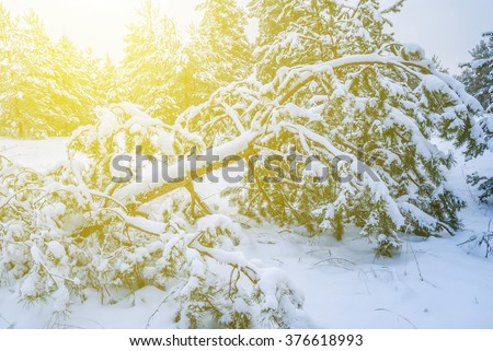 pine tree forest in a snow - stock photo