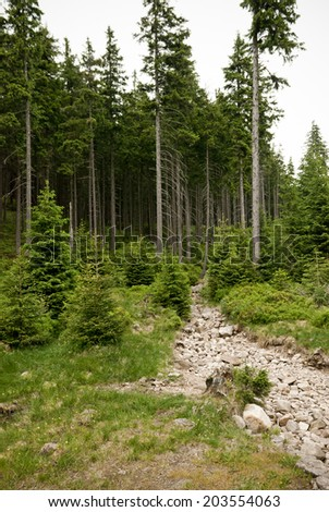 Pine tree forest in mountains - stock photo