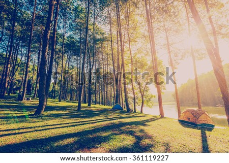 pine tree forest with sunlight and shadows at sunrise with vintage scene. - stock photo