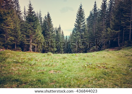 Pine tree forrest in the montains - stock photo