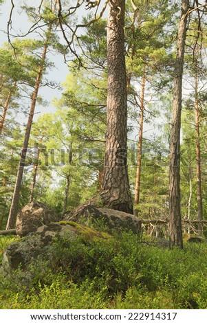 Pine tree in Scandinavian forest - stock photo
