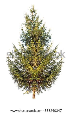 pine tree is isolated on a white background - stock photo