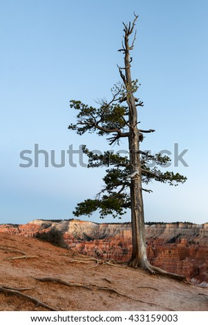 Pine Tree on Rim of Bryce Canyon - stock photo