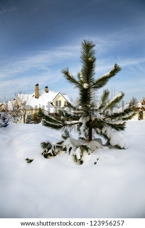 pine tree on the garden of a private house in winter - stock photo
