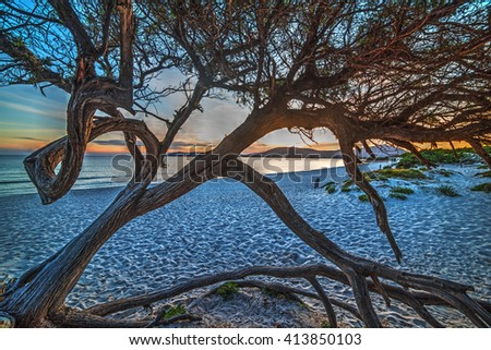 pine tree on the sand at sunset, Sardinia - stock photo