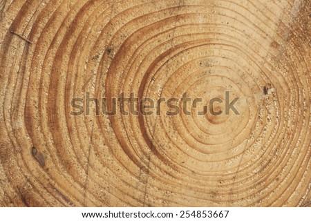 pine tree rings  - stock photo