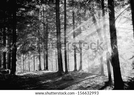 Pine tree with lights and fog,black and white photo - stock photo