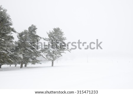 Pine Trees and Field During Blowing Snowstorm - stock photo