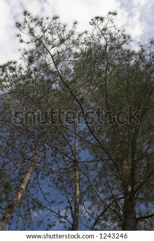 pine trees clusters - stock photo
