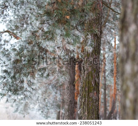 Pine trees covered with hoarfrost in the cloudy day. Close up. - stock photo
